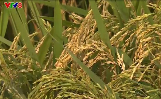 """Hơn 600 ha lúa tại Quảng Bình nhiễm bệnh đạo ôn cổ bông, nông dân """"khóc ròng"""""""