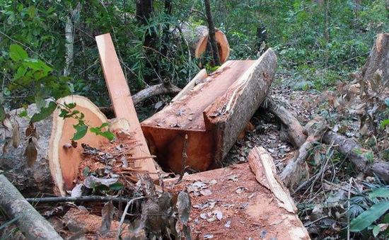 Gia Lai: Khởi tố vụ án khai thác trái phép gần 26 m3 gỗ tại rừng phòng hộ