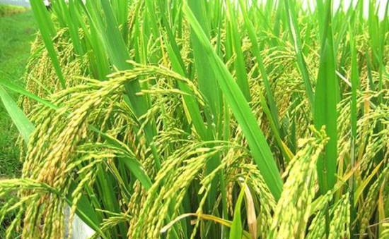 Nhiều hỗ trợ về giống cây trồng cho nông dân Lâm Đồng và Nam Trung Bộ