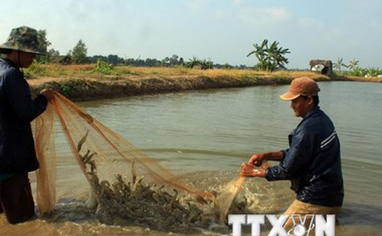 Giải pháp giảm giá tôm nguyên liệu ở Đồng bằng sông Cửu Long