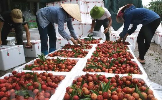 Bắc Giang tìm kiếm thị trường để tiêu thụ vải thiều