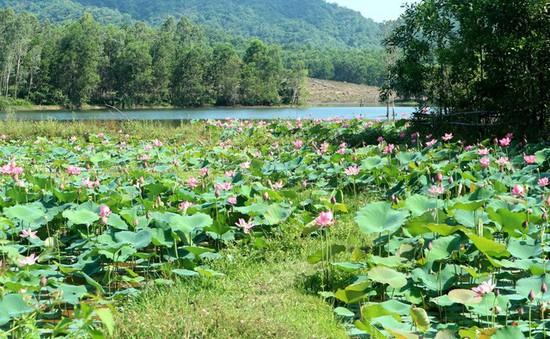 Xua cái nắng hè oi ả ở cánh đồng sen tuyệt đẹp của Quảng Nam