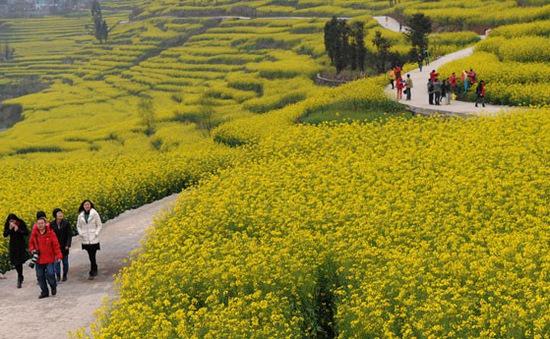 Mê đắm mùa hoa cải rực rỡ ở Bắc Kinh, Trung Quốc