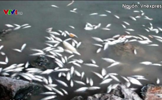 Quảng Ngãi: Cá chết trắng trên sông Bàu Giang