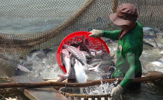 ĐBSCL: Người dân ồ ạt cải tạo, phá ruộng, đào ao nuôi cá tra
