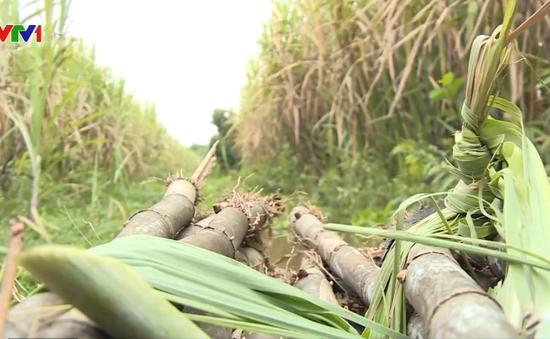 Giải pháp phát triển bền vững ngành mía đường