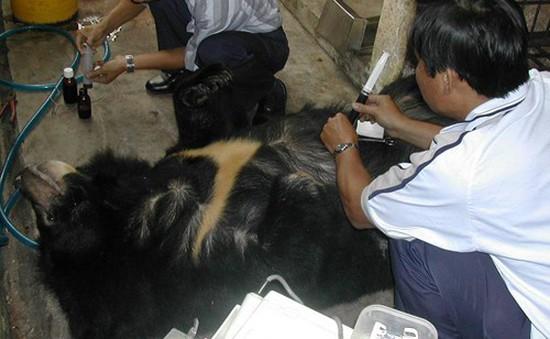 Nghiêm cấm buôn bán mật gấu trái phép tại các cơ sở kinh doanh y dược cổ truyền