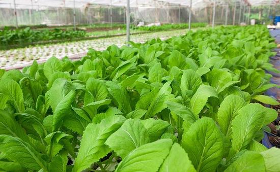 Loạng choạng sản xuất rau sạch: Người nông dân chịu trận