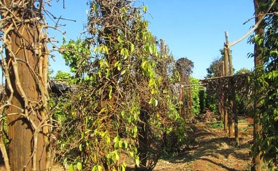 """""""Loay hoay"""" tìm cây trồng thay thế cây hồ tiêu bị chết"""