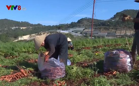 Nông sản Đà Lạt rớt giá khiến người dân lao đao