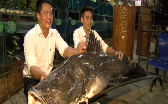 Bắt được cá lăng nặng hơn 100kg trên sông Tiền