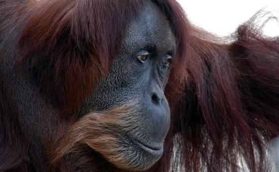 Đười ươi già nhất thế giới qua đời ở sở thú Australia