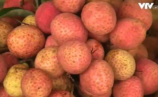 Những lưu ý về an toàn thực phẩm trong mùa vải