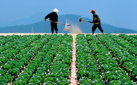 Giảm tổn thất sau thu hoạch - Yêu cầu bức bách tại các vùng trồng rau