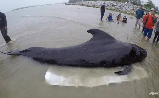 Cá voi hoa tiêu dạt lên bờ biển Thái Lan chết vì nuốt phải nhiều túi nilon