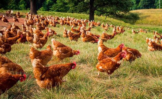 Nuôi gà thả đồng lấy trứng ở Mỹ thu 100 triệu USD mỗi năm