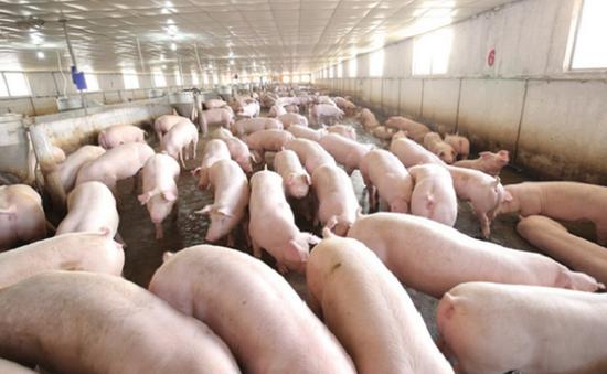 Lần đầu tiên Việt Nam xuất khẩu thịt lợn chính ngạch