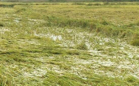 ĐBSCL: Nhiều diện tích lúa bị đổ ngã do mưa giông