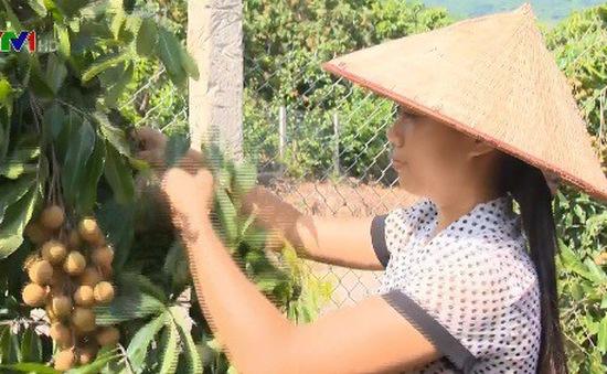 Nông dân làm giàu từ cây nhãn