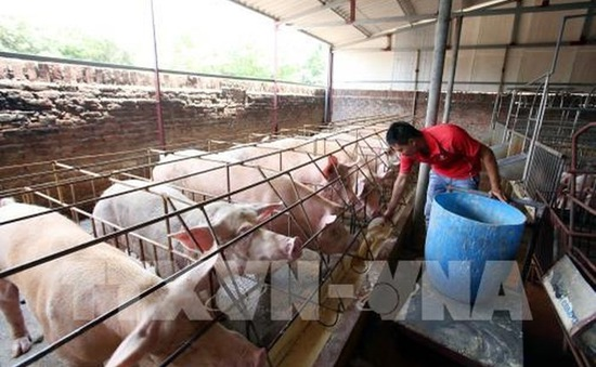 Giá lợn hơi tại miền Bắc đạt 54.000 đồng/kg