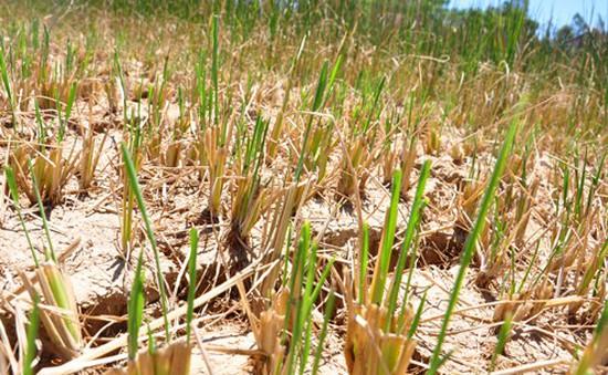 Nông dân Bình Định mất trắng vụ Hè Thu vì nắng hạn kéo dài