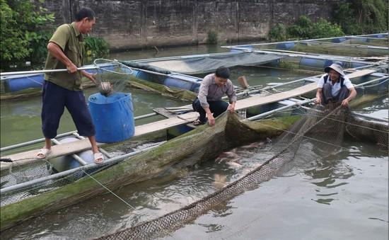 Tiêu điểm: Cá nuôi chết hàng loạt và bài học quy hoạch nuôi thuỷ sản