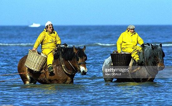 Dùng ngựa kéo lưới đánh tôm biển ở Bỉ