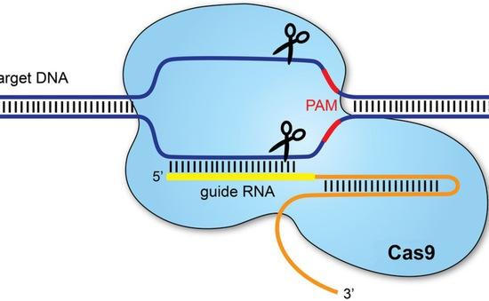 Công nghệ chỉnh sửa gen có thể làm thay đổi cấu trúc ADN