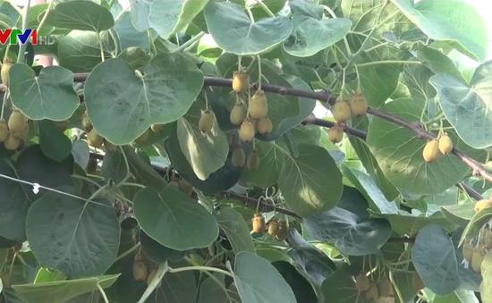 Mô hình trồng kiwi hiệu quả cao tại Trung Quốc
