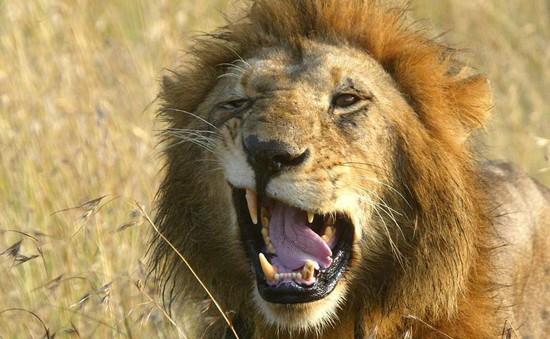 Săn trộm sừng tê giác, những tên thợ săn bị sư tử ăn thịt