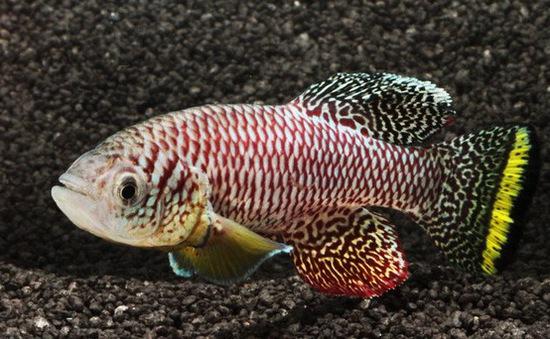 Loài cá trưởng thành đến tuổi sinh sản chỉ trong hai tuần