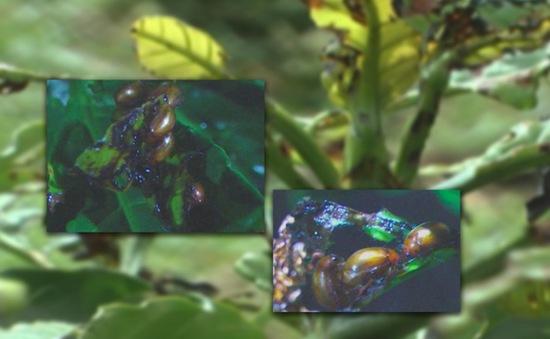 Kon Tum: Bọ cánh cứng gây thiệt hại cây cà phê tại Đắk Hà