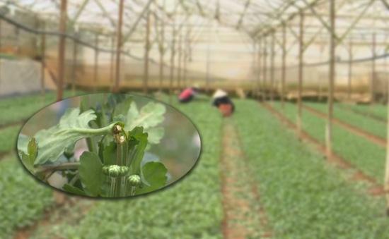 Thiệt hại tiền tỷ ở vùng trồng hoa cúc Đà Lạt