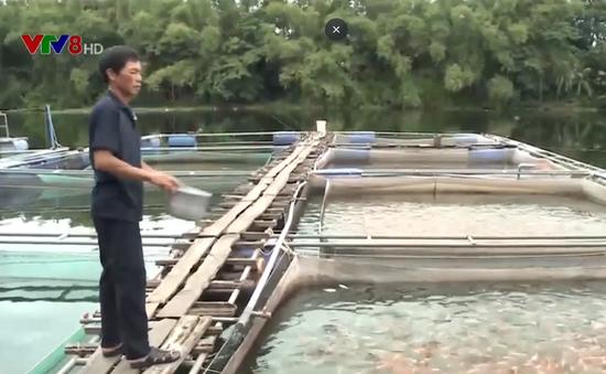 Quảng Nam nhiều rủi ro trong nuôi cá lồng bè trên sông