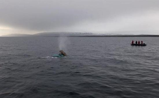 Hải quân Chile cứu cá voi bị mắc kẹt