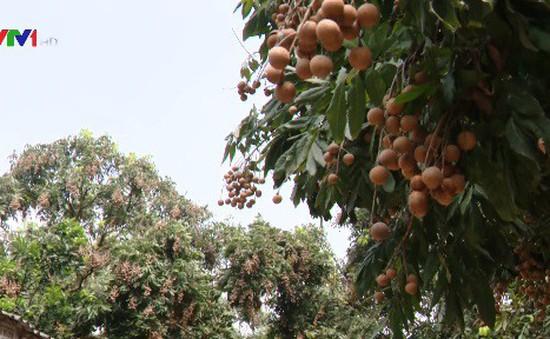 Xúc tiến tiêu thụ nhãn tại Hà Nội