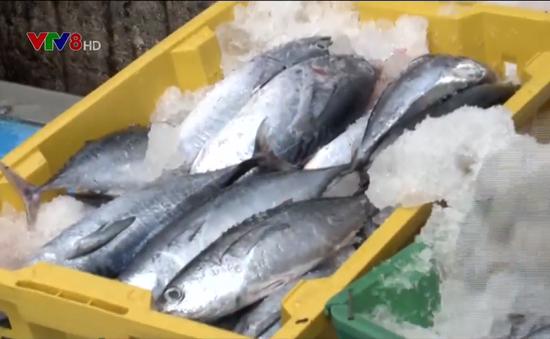 Ngư dân bị ép giá bán cá ngừ