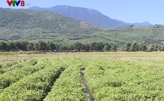 Người dân gặp khó khăn do đất trồng lúa bị bỏ hoang