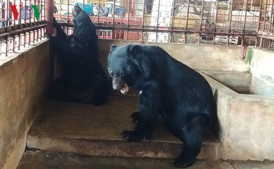 Một hộ dân tự nguyện bàn giao 5 cá thể gấu ngựa