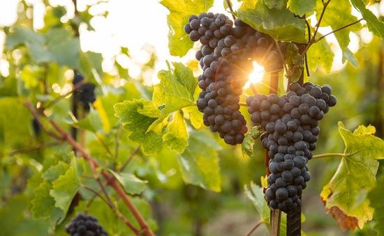 Vùng sản xuất rượu vang Pháp lạc quan sau vụ mùa thắng lợi