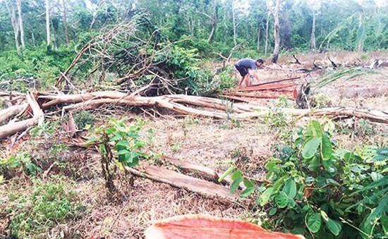 Gia tăng phá rừng căm xe tại Khánh Hòa