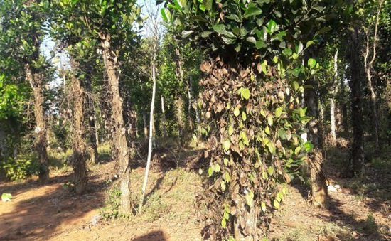Quảng Bình: Hàng trăm gốc tiêu vàng lá chết hàng loạt