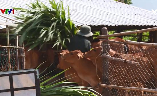 Chuyện nhà nông với nông nghiệp: Phát triển chăn nuôi bò thịt cao sản tại Bình Thuận