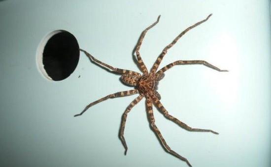 """Bạn có biết: Thời điểm dễ """"chạm trán"""" nhện trong nhà nhất"""