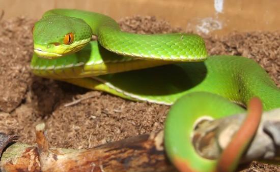Gia tăng số người bị rắn lục đuôi đỏ cắn