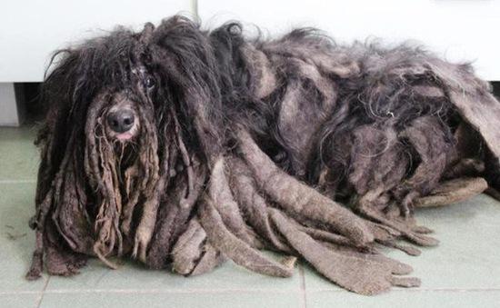 """Pha """"lột xác"""" ngoạn mục của chú chó có vẻ ngoài như đống giẻ lau"""
