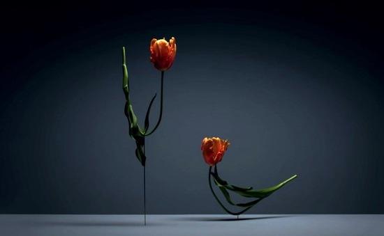 Vũ điệu hoa tulip cực kỳ sống động