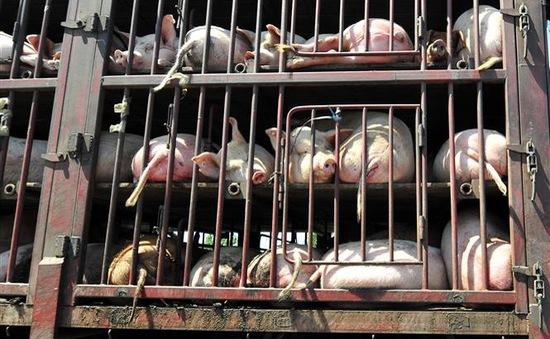 Ấn Độ: Dịch tả lợn bùng phát mạnh tại bang Maharashtra