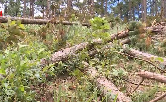Trách nhiệm của chính quyền trong vụ phá rừng thông cổ thụ ở Lâm Đồng
