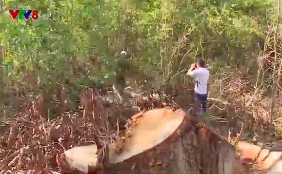 Lợi dụng tận thu cây gãy đổ để phá rừng ở Đắk Lắk